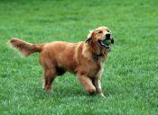 Las mejores razas de perros guardianes