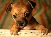 10 Razas de perros pequeños