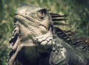 Enfermedades de las iguanas