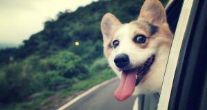 8 Ingeniosas Ideas para Viajar con tu Perro en Auto