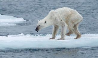 [Fotos] La falta de alimento tiene desnutridos a los osos polares