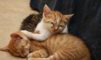 Los londinenses podrán adoptar gatos por internet