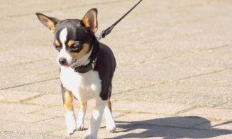 Entrenamiento de perros de raza pequeña: ¡Difícil, pero no imposible!