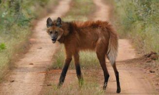 Animales que no creerás que existen: Aguará Guazú (Lobo de crin)