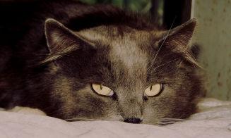 Aprende a cuidar a tu gato del SIDA felino