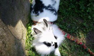 Tengo la mejor mascota del mundo: Julieta, mi conejo enano holandés