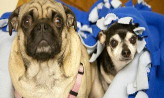 Cómo cuidar el estrés de los perros de razas pequeñas