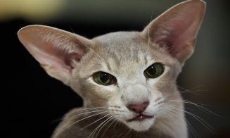 Perfiles: Gato oriental