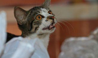 Porqué hay gatos que no maúllan