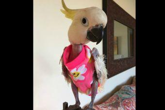 Cacatúa usa sweaters a falta de plumas