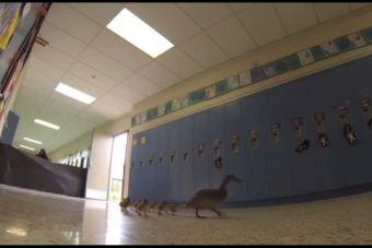 Video: Vanesa, la pata que vive con sus hijos dentro de un colegio