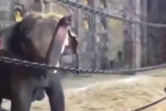[Video] Mira como reaccionan los elefantes al escuchar música clásica