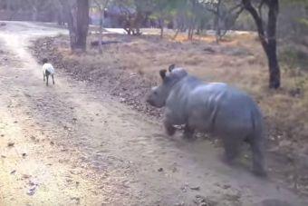Bebé rinoceronte juega con una cabra (video)