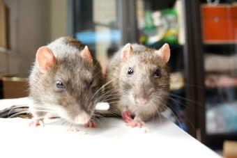 Un hombre entrenó a 70 ratas para que sean sus mascotas