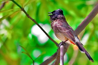 Pájaros en peligro de extinción grabaron un disco