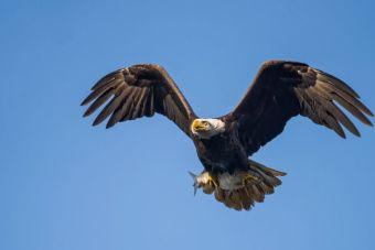 [Video] Un águila derribó a un dron en pleno vuelo