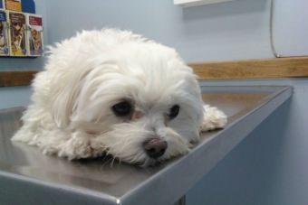 Centros veterinarios y unidades móviles esterilizan a mascotas de Buenos Aires