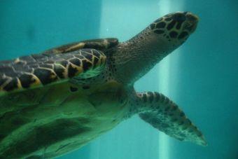 Tortugas marinas se ven amenazadas por el cambio climático