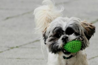 Como evitar y solucionar los problemas a los oídos en los perros