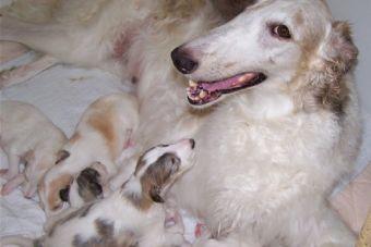 ¡Ojo! Los cuidados que necesita una perrita tras dar a luz