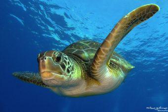 La hermosa experiencia de tener una tortuga marina como mascota