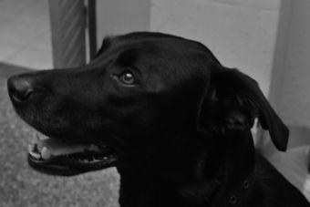 ¿Cómo un perro aprende a encontrar enfermedades en las personas?
