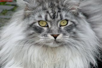 Perfiles: Maine Coon
