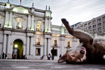 ¿Qué tiene el quiltro chileno que no tienen los demás mestizos?