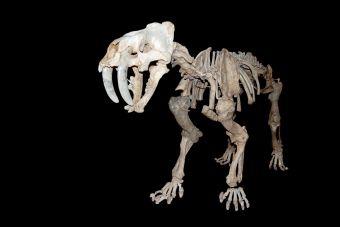 Animales extintos: Smilodón