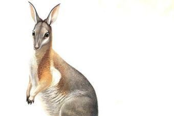 Animales Extintos: Canguro Rabipelado Occidental
