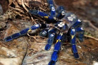 Animales que no creerás que existen: Tarántula azul zafiro