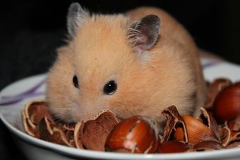 Historias de mascotas: Cuidar a tres hámsters al mismo tiempo
