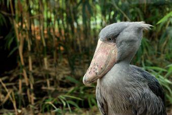 Animales que no creerás que existen: Picozapato
