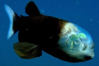 Animales que no creerás que existen: Pez cabeza transparente