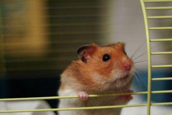 10 razones para tener un hámster como mascota