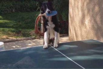 Video: Este perro es seco para el Ping-Pong