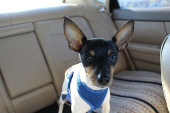 10 razas de perros más pequeñas del mundo