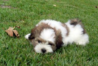 Crean nueva raza de perros hipoalergénicos y supuestamente eternos