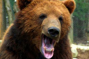 Video: ruso alimenta a un oso pardo desde la ventana de su casa