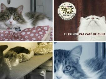Comienza a funcionar el primer Cat Café de Chile