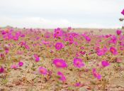 Rutas de viaje: Desierto florido noviembre 2015
