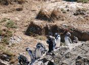 Puñihuil: sorprendente pingüinera en pleno Chiloé