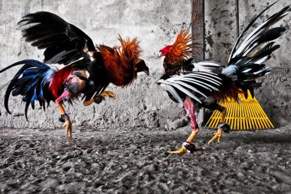 Tips dan trik bermain sabung ayam di situs Dunia4d