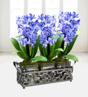 Trio Ornate Hyacinths