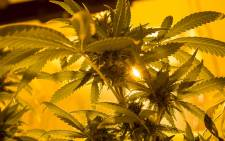 FILE: Medical marijuana plants under lighting in a grow house. Picture: Thomas Holder/EWN