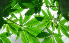 Government one step closer to  legalising medical marijuana
