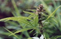 Thorough research needed before dagga given prescription drug status - PsychMG