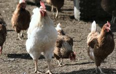 Poultry industry cries foul