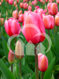Signed manipulated fetched wikipedia tulip