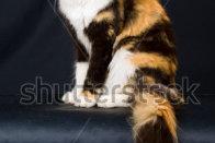 Beautiful Calico Maine Coon On Black Background Stock Photo
